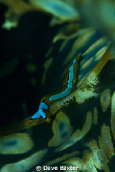 nudi crawling along a giant clam by Dave Baxter